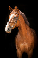 Portrait of red horse on black background