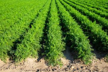 Feld mit Karotten