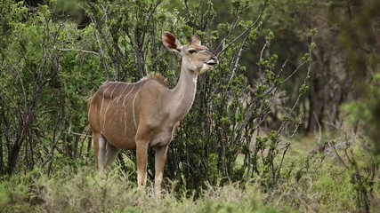 Female kudu antelope ruminating, Mokala National Park