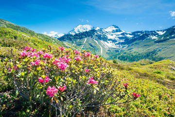 Panorama alps with flowers and high mountains