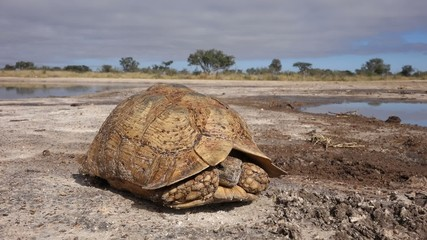 Landscape with leopard tortoise peeking out of shell,