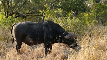 Grazing African buffalo bull with oxpecker birds