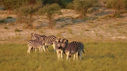 Plains (Burchells) Zebras in playful interaction