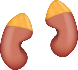 Adrenal Glands and Kidneys