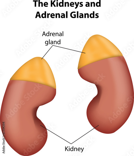Adrenal Glands and Kidneys labeled Diagram