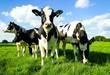 Leinwanddruck Bild - Um sich blickende Rinder