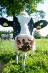 Neugierige Kuh blickt Dich an