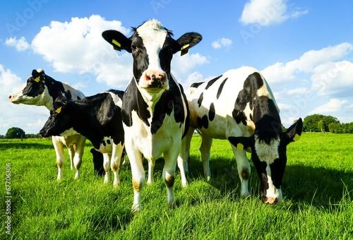 Leinwanddruck Bild Um sich blickende Rinder
