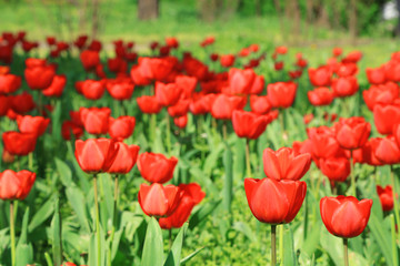 Beautiful field of red tulips