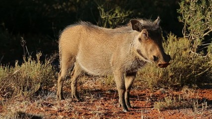 A relaxed warthog in natural habitat