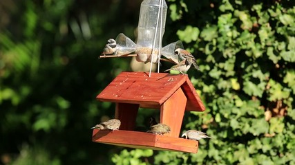 Sparrows and finches feeding at a garden bird feeder