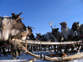 Russia, Nadym. Harness the reindeer and sleigh in the snow.