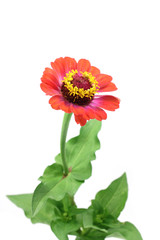 orange zinnia flower on a white background