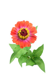 Orange zinnia beautiful flower on a white background