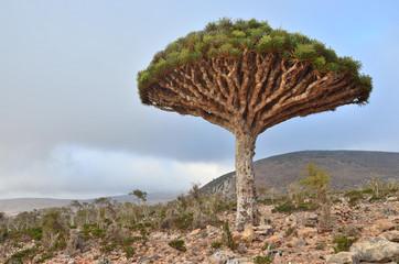Драконовое дерево в горах Сокотры, Йемен