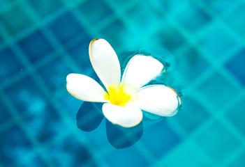 Plumeria floating in blue water