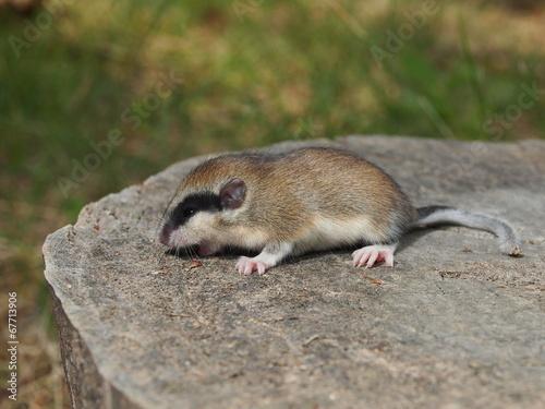 Fotobehang Eekhoorn Forest Dormouse, Dryomys nitedula
