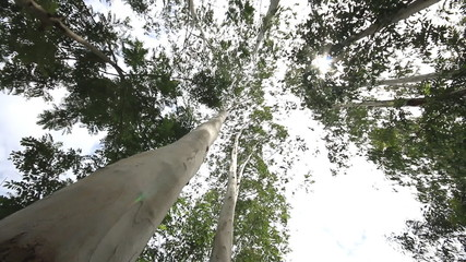 eucalyptus tree, Dolly shot