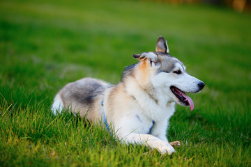 Portrait of Siberian Husky lying in the green grass