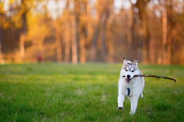Husky dog runs with a wooden stick in his mouth in park