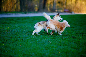 Husky and Labrador dogs frolic in a summer park