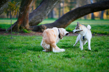 Husky and Labrador dogs fighting over a wooden stick in a summer