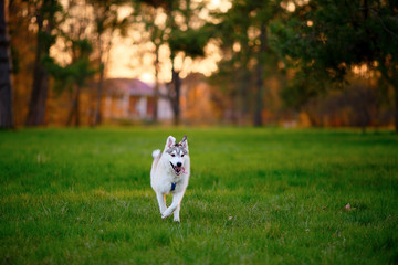 Running Husky dog in sunny summer evening park