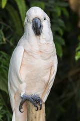 pappagallo Cacatua delle Molucche