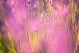 Fototapety Defocused lavender flower background