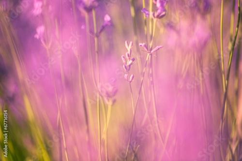 Defocused lavender flower background