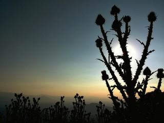 Cardi controluce al tramonto