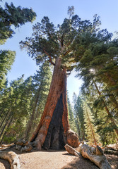 Grizzly Giant Sequoia in Mariposa Grove, Yosemite