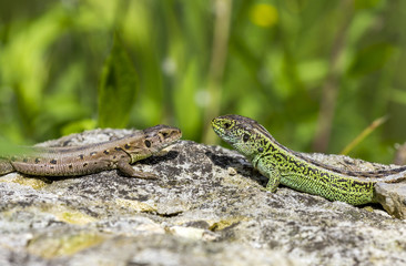 two lizards on a stone