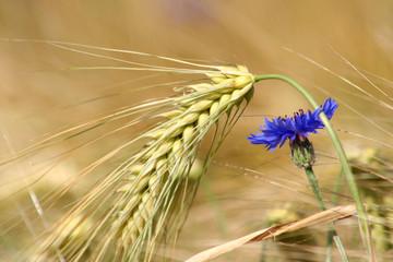 Gerste und Kornnlume