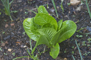 Romaine Lettuce in a Garden