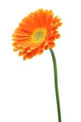 Orange gerbera daisy isolated on white background