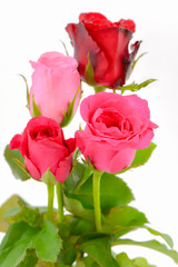 pink and red roses isolated