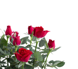 Boquet of roses isolated on white