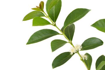 イエローストロベリーグアバの花