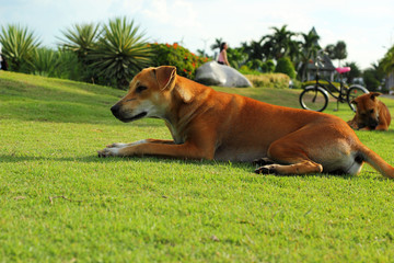 Brown dog on the green grass.