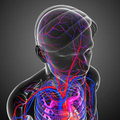 Male Brain circulatory system