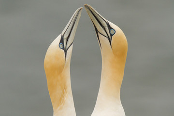 Gannets in love