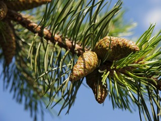 twig of dwarf mountain pine with cones