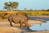 White rhinoceros drinking water