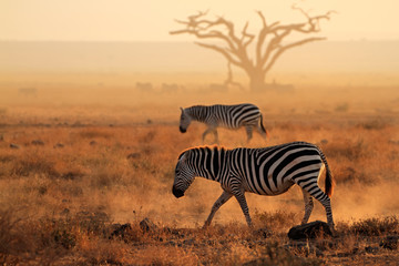 Plains zebras in dust, Amboseli National Park