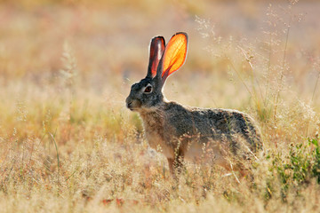 Scrub hare, Etosha National Park