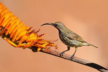 Scarlet-chested sunbird on an aloe flower