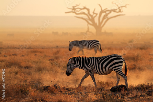 Fotobehang Zebra Plains zebras in dust, Amboseli National Park