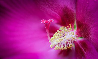 Rose of Sharon's pollen