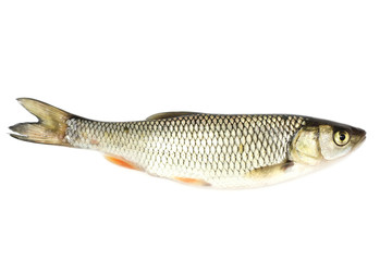 River chub isolated on white background